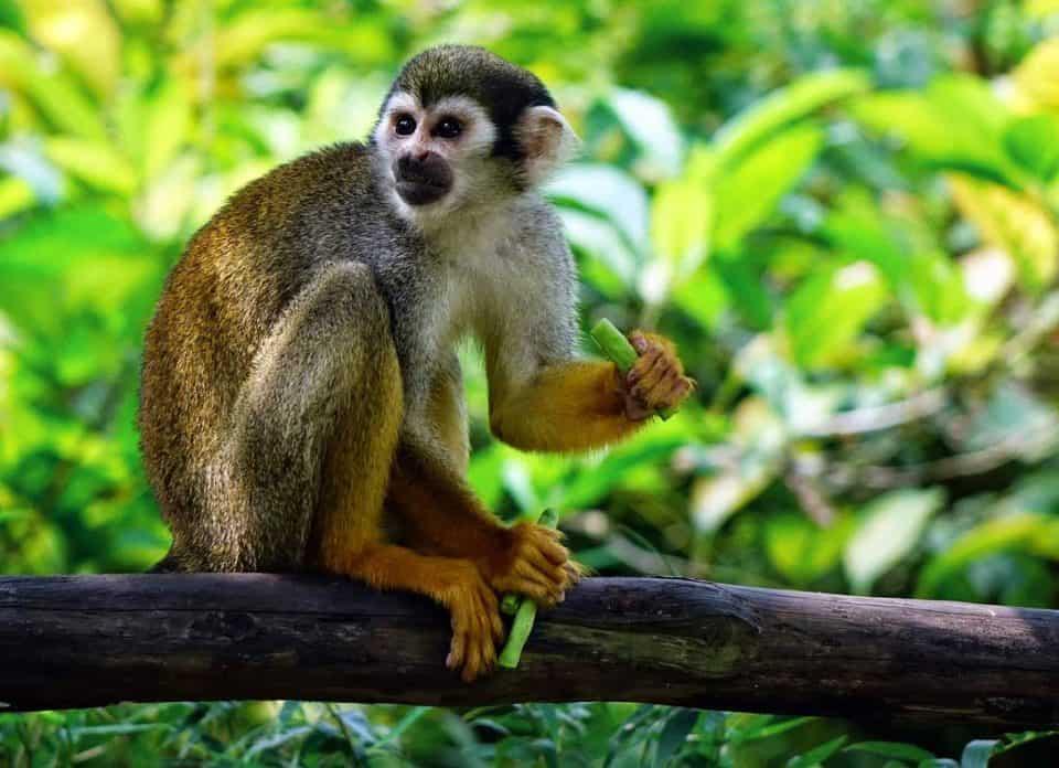 Affen rasen durch den Wald