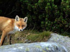 Fuchs du hast die Gans gestohlen