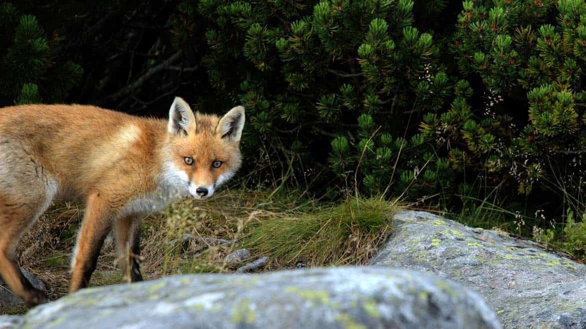 Fuchs Du Hast Die Gans Gestohlen Chords